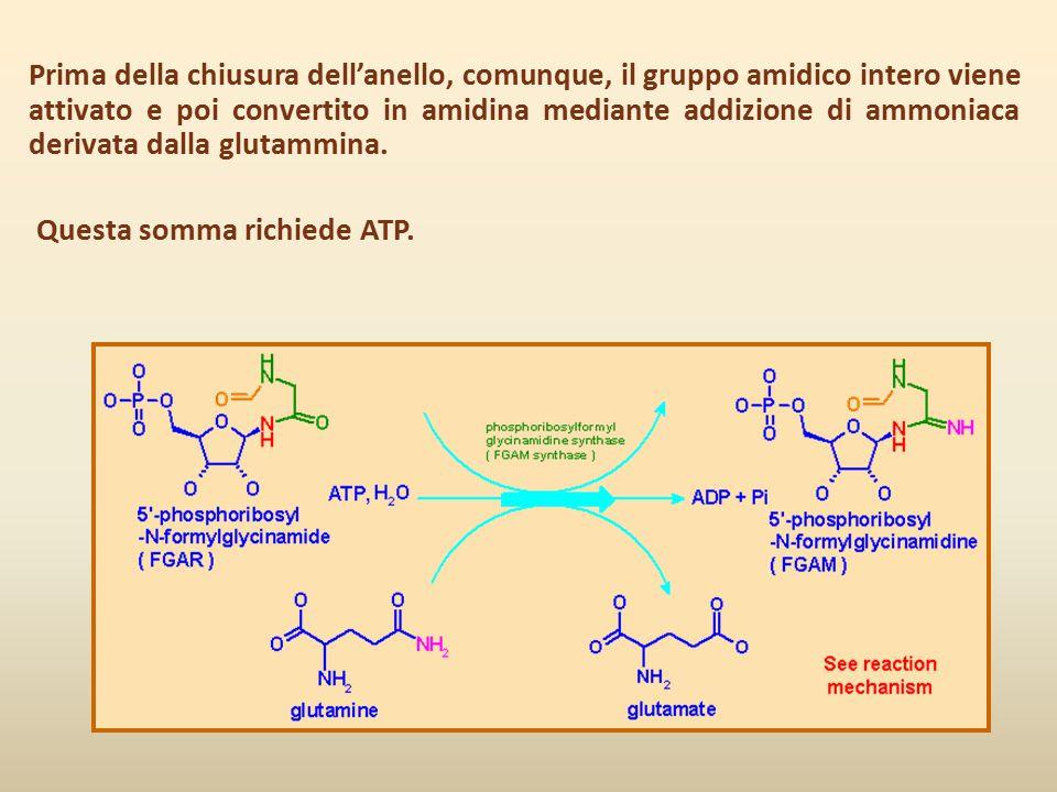 Prima della chiusura dell'anello, comunque, il gruppo amidico intero viene attivato e poi convertito in amidina mediante addizione di ammoniaca deriva