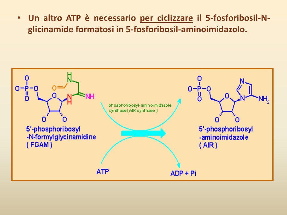 Un altro ATP è necessario per ciclizzare il 5-fosforibosil-N- glicinamide formatosi in 5-fosforibosil-aminoimidazolo.