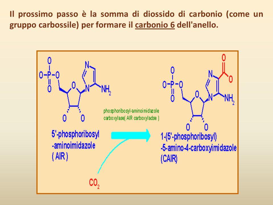 Il prossimo passo è la somma di diossido di carbonio (come un gruppo carbossile) per formare il carbonio 6 dell'anello.