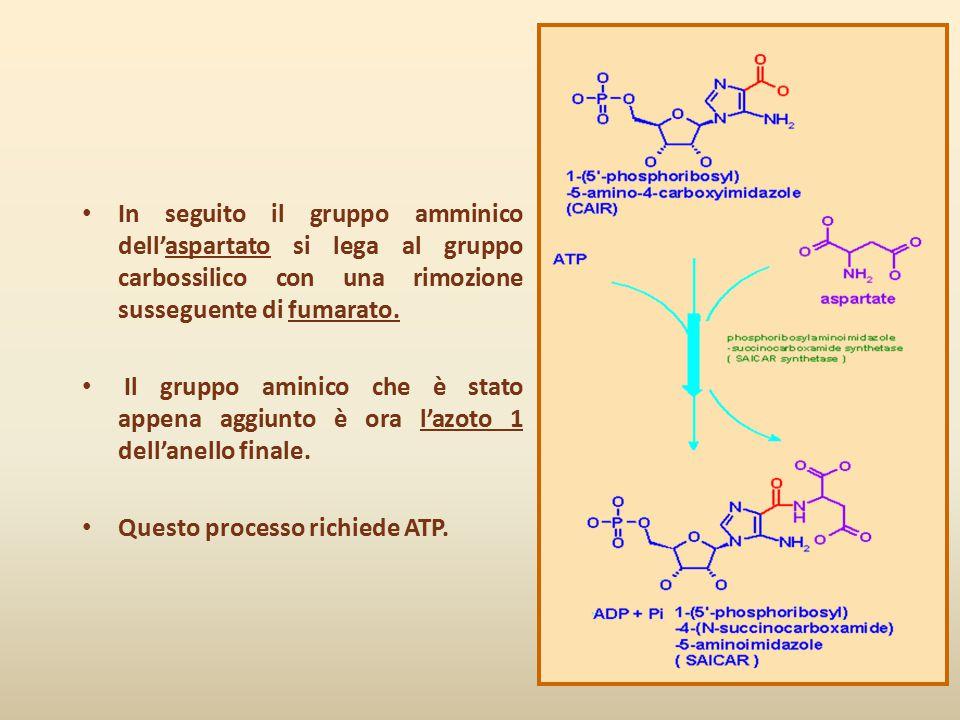 In seguito il gruppo amminico dell'aspartato si lega al gruppo carbossilico con una rimozione susseguente di fumarato. Il gruppo aminico che è stato a