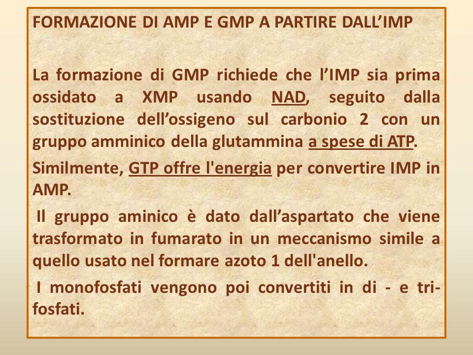 FORMAZIONE DI AMP E GMP A PARTIRE DALL'IMP La formazione di GMP richiede che l'IMP sia prima ossidato a XMP usando NAD, seguito dalla sostituzione del