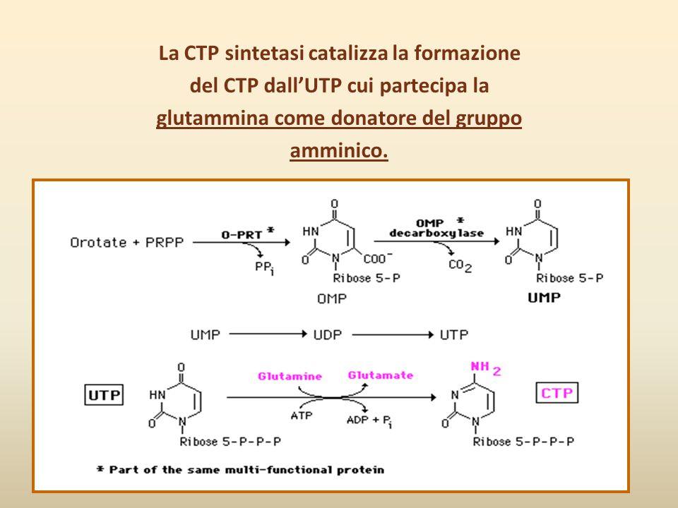 La CTP sintetasi catalizza la formazione del CTP dall'UTP cui partecipa la glutammina come donatore del gruppo amminico.