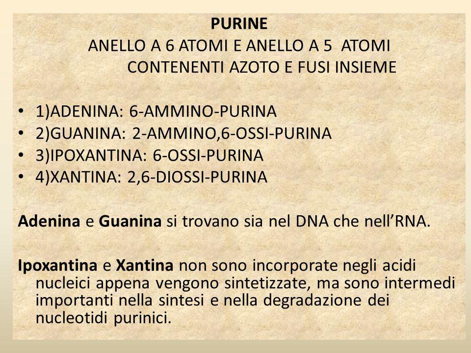 PURINE ANELLO A 6 ATOMI E ANELLO A 5 ATOMI CONTENENTI AZOTO E FUSI INSIEME 1)ADENINA: 6-AMMINO-PURINA 2)GUANINA: 2-AMMINO,6-OSSI-PURINA 3)IPOXANTINA: