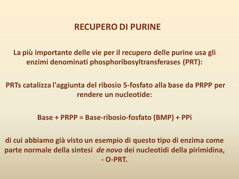 RECUPERO DI PURINE La più importante delle vie per il recupero delle purine usa gli enzimi denominati phosphoribosyltransferases (PRT): PRTs catalizza
