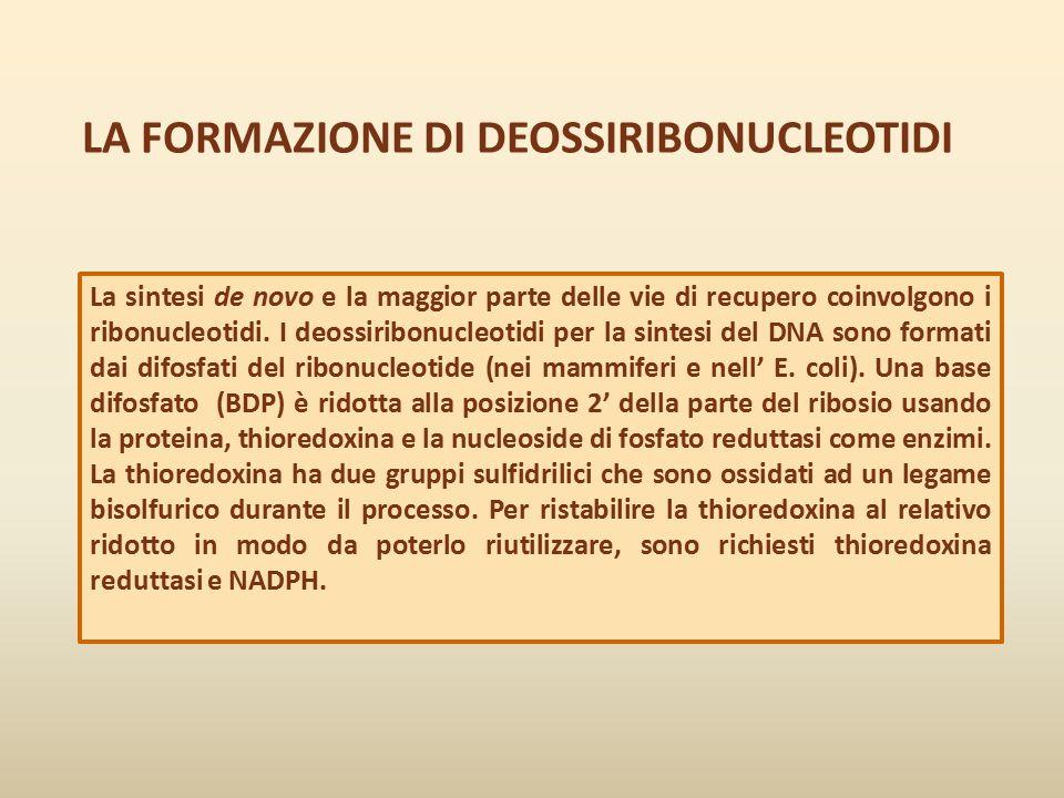 LA FORMAZIONE DI DEOSSIRIBONUCLEOTIDI La sintesi de novo e la maggior parte delle vie di recupero coinvolgono i ribonucleotidi. I deossiribonucleotidi