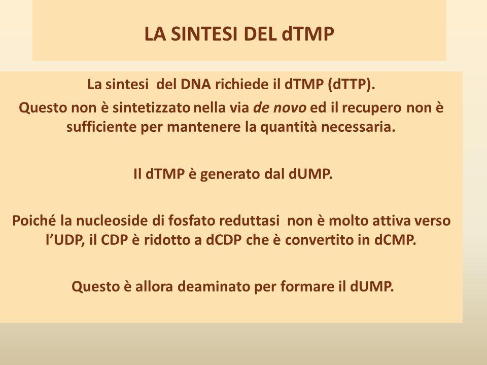 LA SINTESI DEL dTMP La sintesi del DNA richiede il dTMP (dTTP). Questo non è sintetizzato nella via de novo ed il recupero non è sufficiente per mante