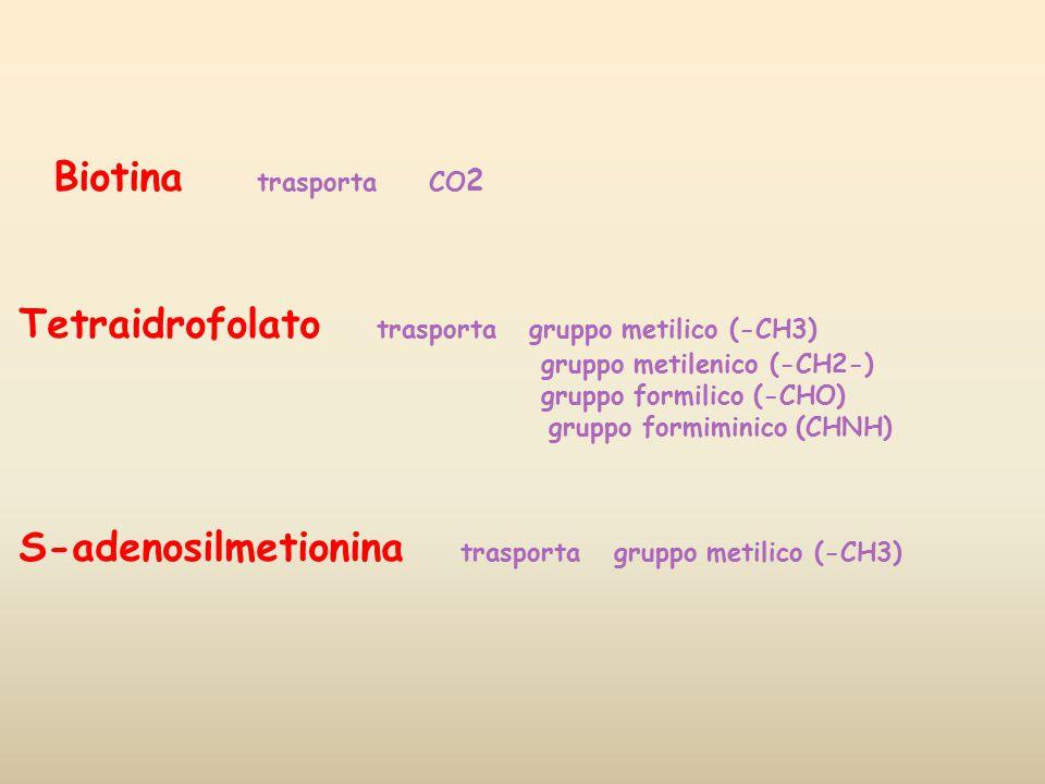 Biotina trasporta CO 2 Tetraidrofolato trasporta gruppo metilico (-CH3) gruppo metilenico (-CH2-) gruppo formilico (-CHO) gruppo formiminico (CHNH) S-