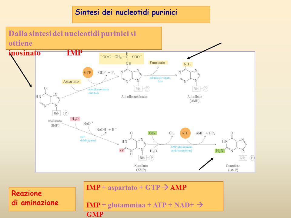 Reazione di aminazione Dalla sintesi dei nucleotidi purinici si ottiene inosinato IMP IMP + aspartato + GTP  AMP IMP + glutammina + ATP + NAD+  GMP