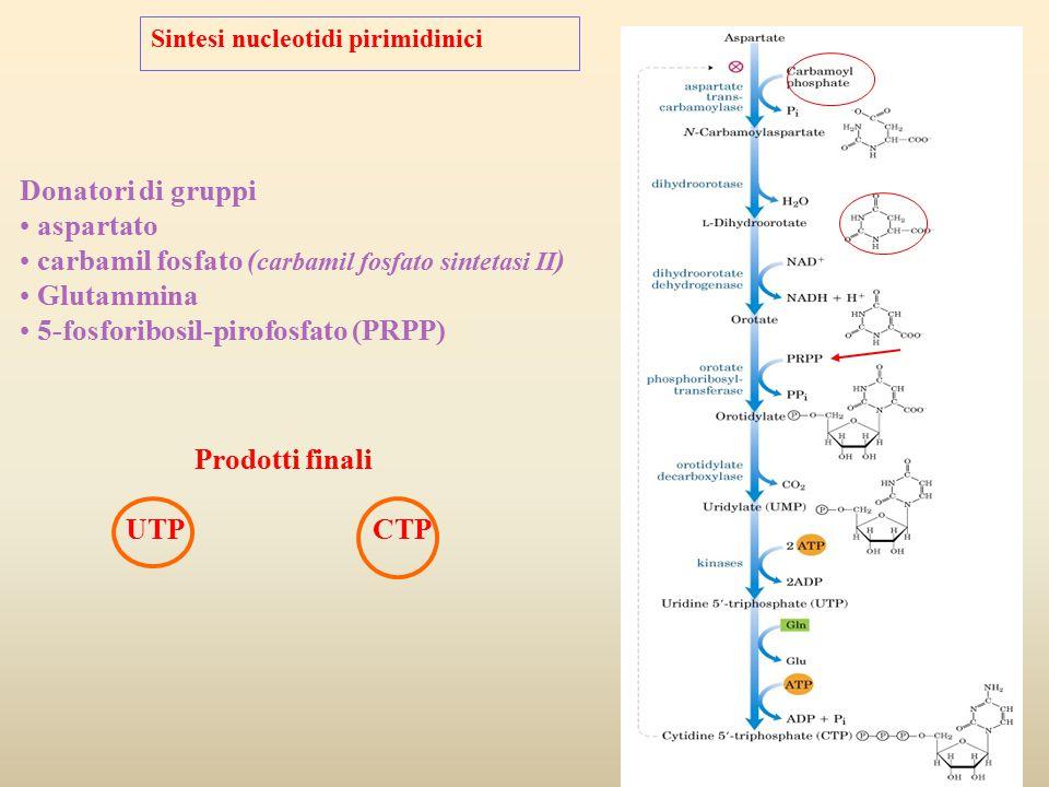 Sintesi nucleotidi pirimidinici Donatori di gruppi aspartato carbamil fosfato ( carbamil fosfato sintetasi II ) Glutammina 5-fosforibosil-pirofosfato