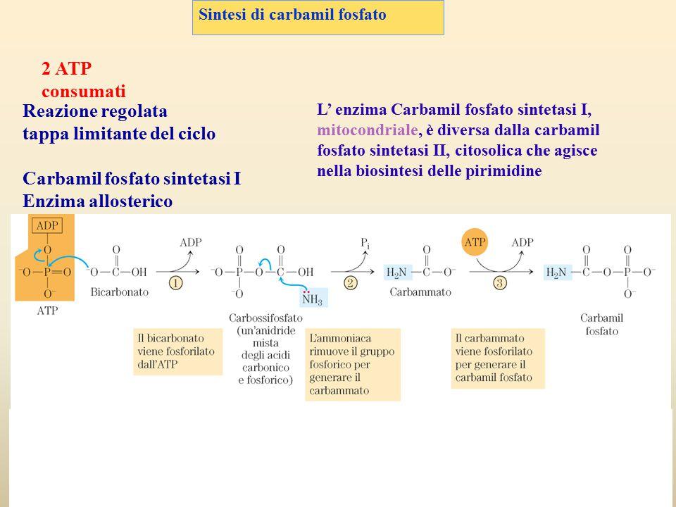 Sintesi di carbamil fosfato 2 ATP consumati Reazione regolata tappa limitante del ciclo Carbamil fosfato sintetasi I Enzima allosterico L' enzima Carb