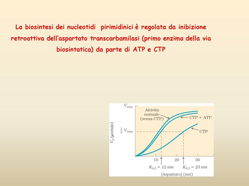 La biosintesi dei nucleotidi pirimidinici è regolata da inibizione retroattiva dell'aspartato transcarbamilasi (primo enzima della via biosintatica) d