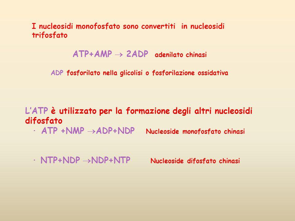 I nucleosidi monofosfato sono convertiti in nucleosidi trifosfato ATP+AMP  2ADP adenilato chinasi ADP fosforilato nella glicolisi o fosforilazione os