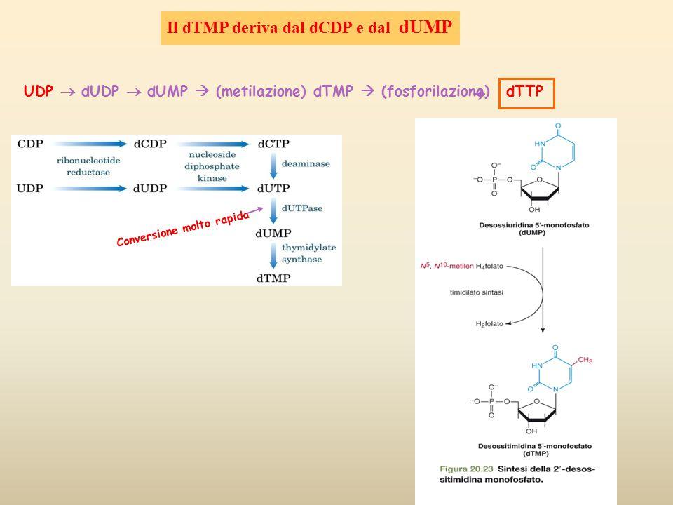 dTTP  UDP  dUDP  dUMP  (metilazione) dTMP  (fosforilazione) Il dTMP deriva dal dCDP e dal dUMP Conversione molto rapida