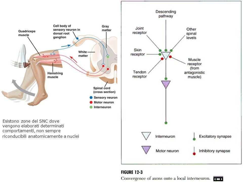 Esistono zone del SNC dove vengono elaborati determinati comportamenti, non sempre riconducibili anatomicamente a nuclei