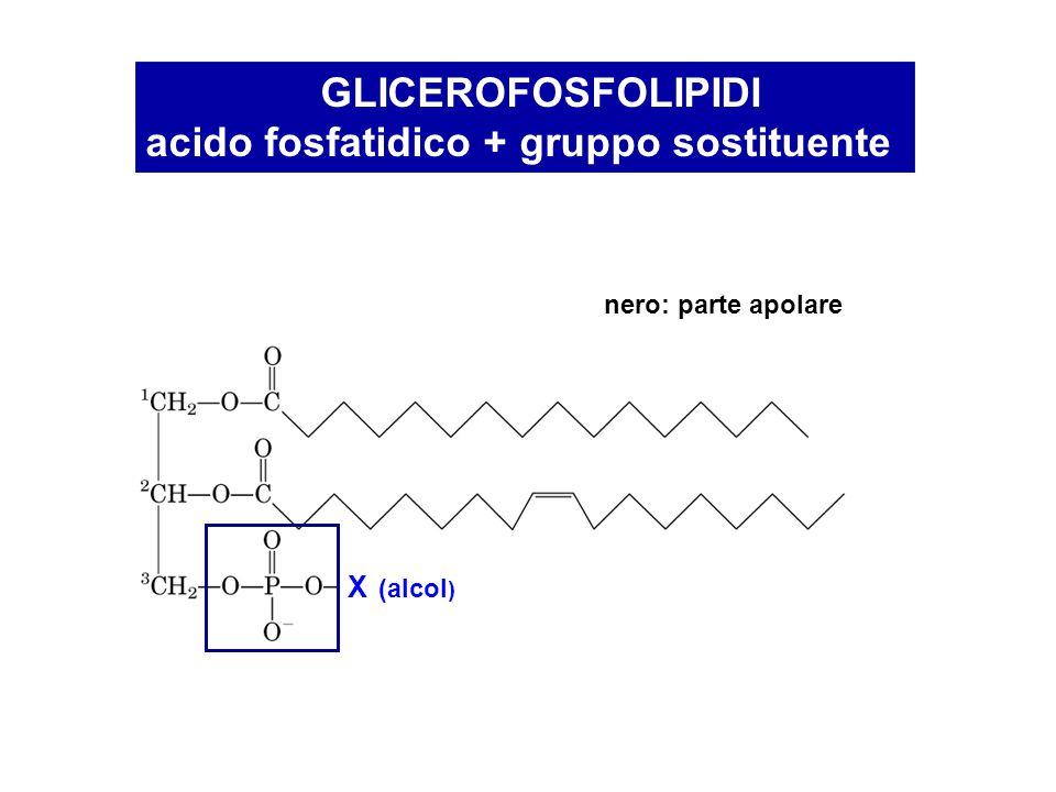 fosfatidilserina fosfatidiletanolamina carica netta = -1 carica netta = 0