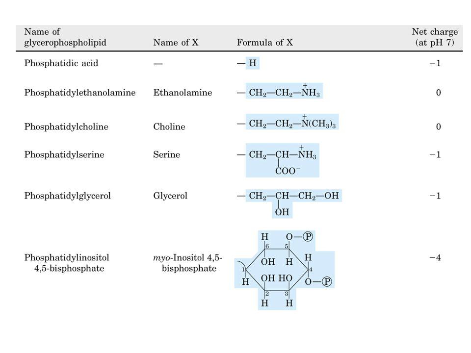RUOLO DEI FOSFOLIPIDI Strutturale nelle membrane cellulari Trasporto plasmatico di lipidi: lipoproteine Precursori di regolatori metabolici (eicosanoidi: prostaglandine, leucotrieni) fosfolipidi trigliceridi esteri del colesterolo colesterolo apoB100