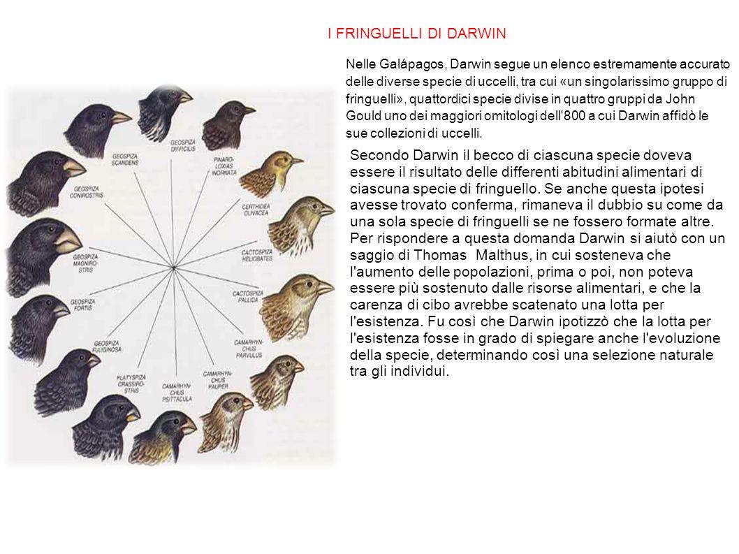I FRINGUELLI DI DARWIN Nelle Galápagos, Darwin segue un elenco estremamente accurato delle diverse specie di uccelli, tra cui «un singolarissimo grupp