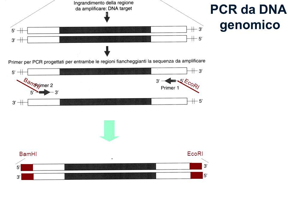 PCR da DNA genomico EcoRI BamHI EcoRI