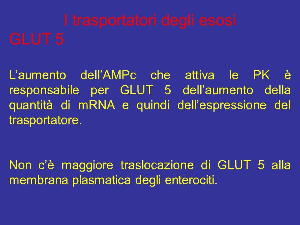 I trasportatori degli esosi GLUT 5 L'aumento dell'AMPc che attiva le PK è responsabile per GLUT 5 dell'aumento della quantità di mRNA e quindi dell'es