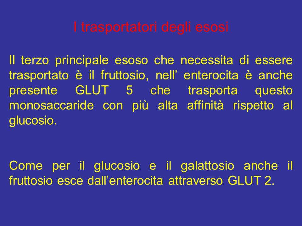 I trasportatori degli esosi Il terzo principale esoso che necessita di essere trasportato è il fruttosio, nell' enterocita è anche presente GLUT 5 che