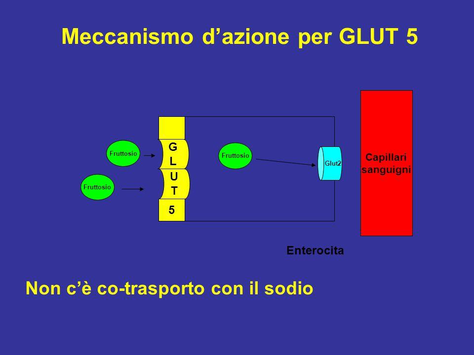 UTUT GLGL 5 Fruttosio Glut2 Enterocita Capillari sanguigni Fruttosio Meccanismo d'azione per GLUT 5 Non c'è co-trasporto con il sodio