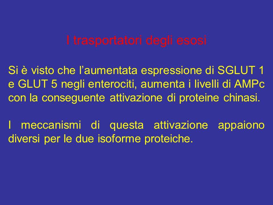 I trasportatori degli esosi Si è visto che l'aumentata espressione di SGLUT 1 e GLUT 5 negli enterociti, aumenta i livelli di AMPc con la conseguente