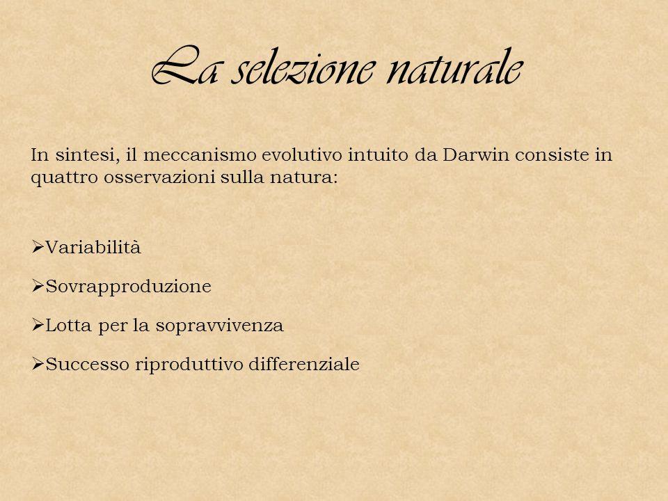 La selezione naturale In sintesi, il meccanismo evolutivo intuito da Darwin consiste in quattro osservazioni sulla natura:  Variabilità  Sovrapproduzione  Lotta per la sopravvivenza  Successo riproduttivo differenziale