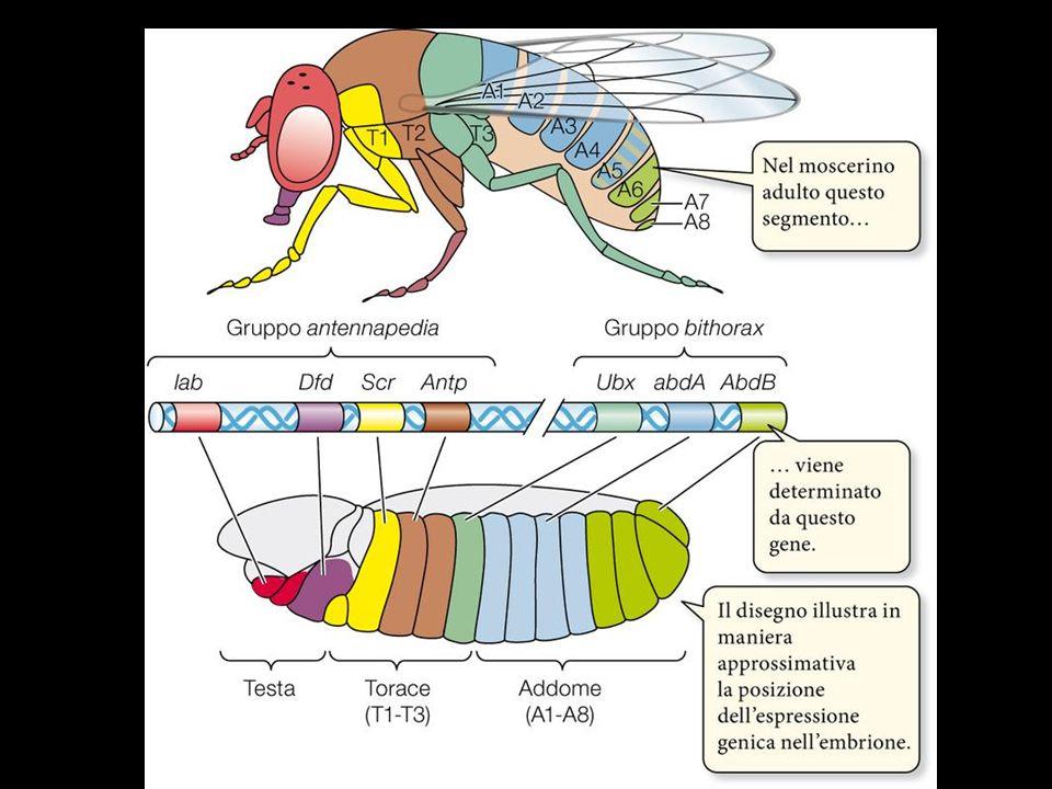 In genetica dello sviluppo, forma abbreviata di Homeobox, che indica un complesso di geni essenziali per lo sviluppo dello schema corporeo dei Mammiferi.