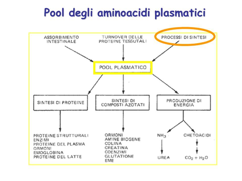 nei tessuti extraepatici Non potendo essere esportata nel sangue, per la sua tossicità, l ammoniaca viene, nei tessuti extraepatici, cervello compreso, convertita in un composto non tossico, la glutammina.