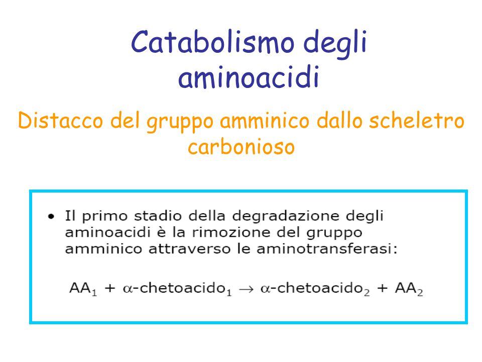 Catabolismo degli aminoacidi Distacco del gruppo amminico dallo scheletro carbonioso