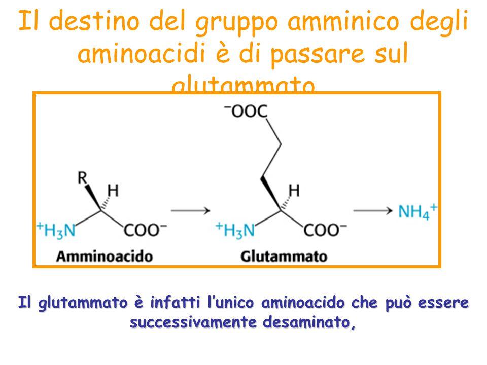 Il destino del gruppo amminico degli aminoacidi è di passare sul glutammato Il glutammato è infatti l'unico aminoacido che può essere successivamente