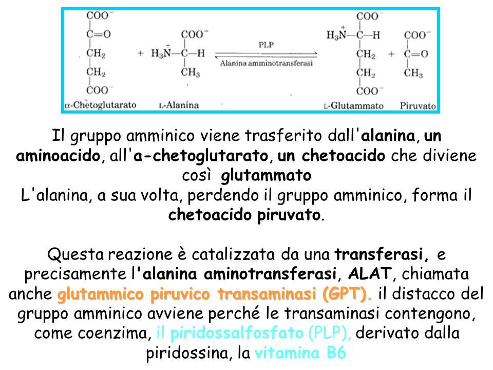 Il gruppo amminico viene trasferito dall'alanina, un aminoacido, all'a-chetoglutarato, un chetoacido che diviene così glutammato L'alanina, a sua volt