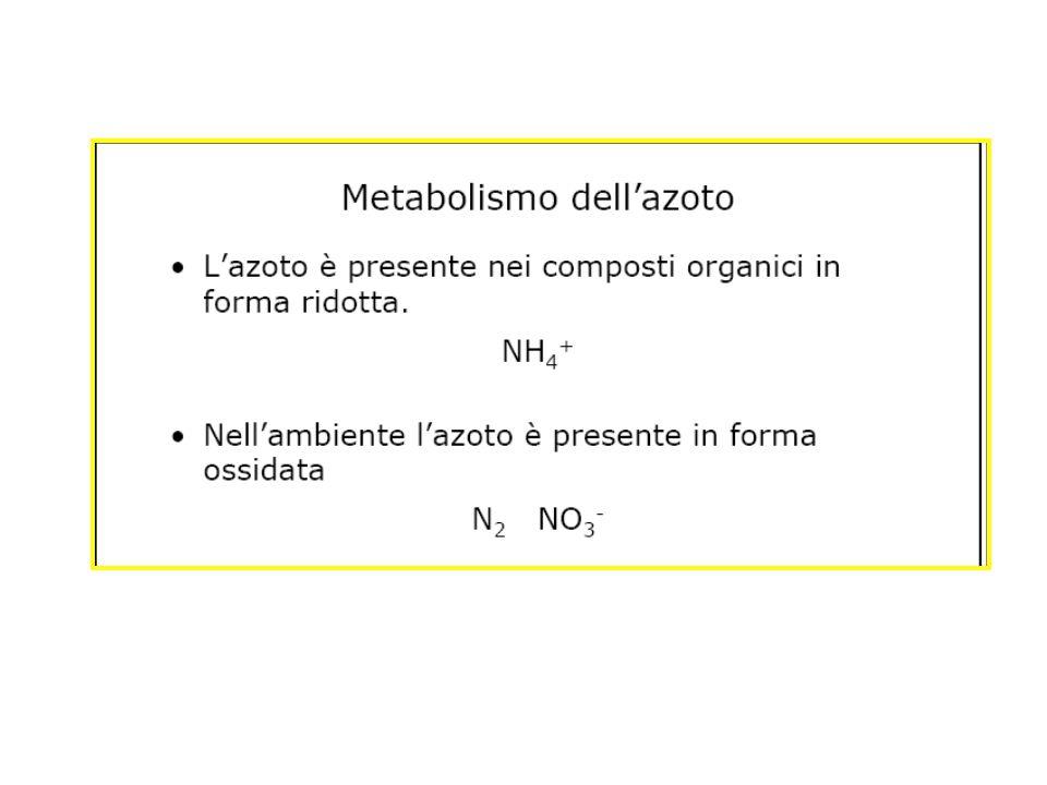 Il gruppo amminico viene trasferito dall alanina, un aminoacido, all a-chetoglutarato, un chetoacido che diviene così glutammato L alanina, a sua volta, perdendo il gruppo amminico, forma il chetoacido piruvato.