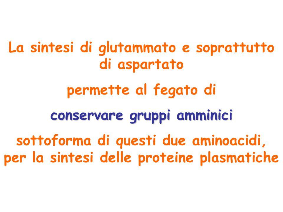 La sintesi di glutammato e soprattutto di aspartato permette al fegato di conservare gruppi amminici sottoforma di questi due aminoacidi, per la sinte