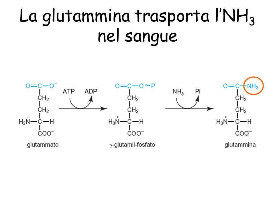 La glutammina trasporta l'NH 3 nel sangue