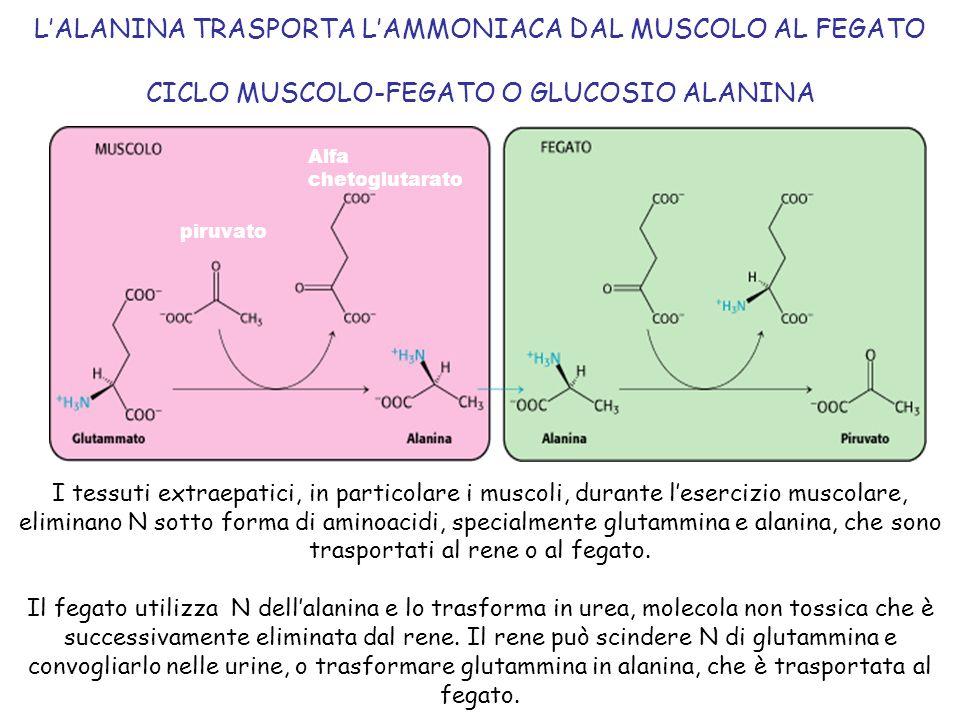 L'ALANINA TRASPORTA L'AMMONIACA DAL MUSCOLO AL FEGATO CICLO MUSCOLO-FEGATO O GLUCOSIO ALANINA I tessuti extraepatici, in particolare i muscoli, durant