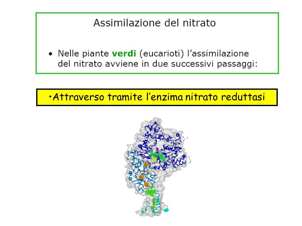 Attraverso tramite l'enzima nitrato reduttasi