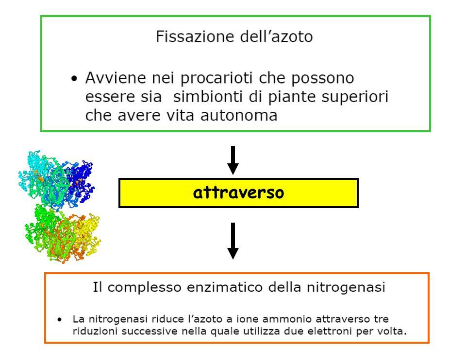 Per l'uomo la via principale di assunzione di azoto è l'ingestione di proteine con la dieta.