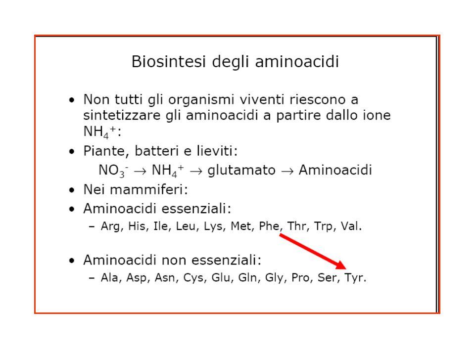 Destino dello scheletro carbonioso Aminoacidi glucogenici = rosaAminoacidi chetogenici = giallo