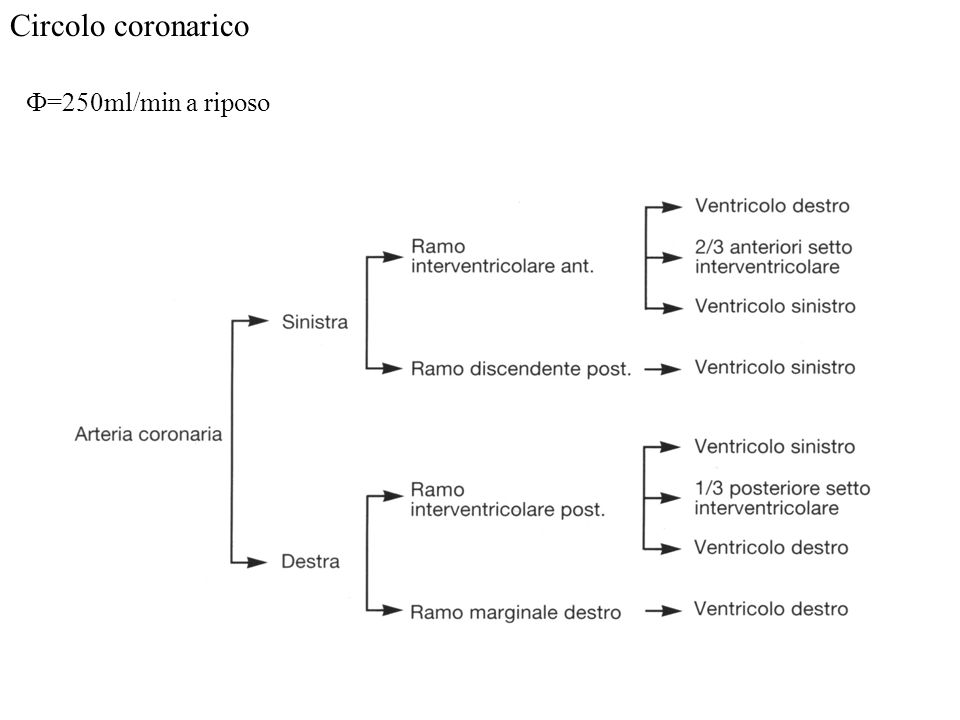 Circolo coronarico Ф=250ml/min a riposo