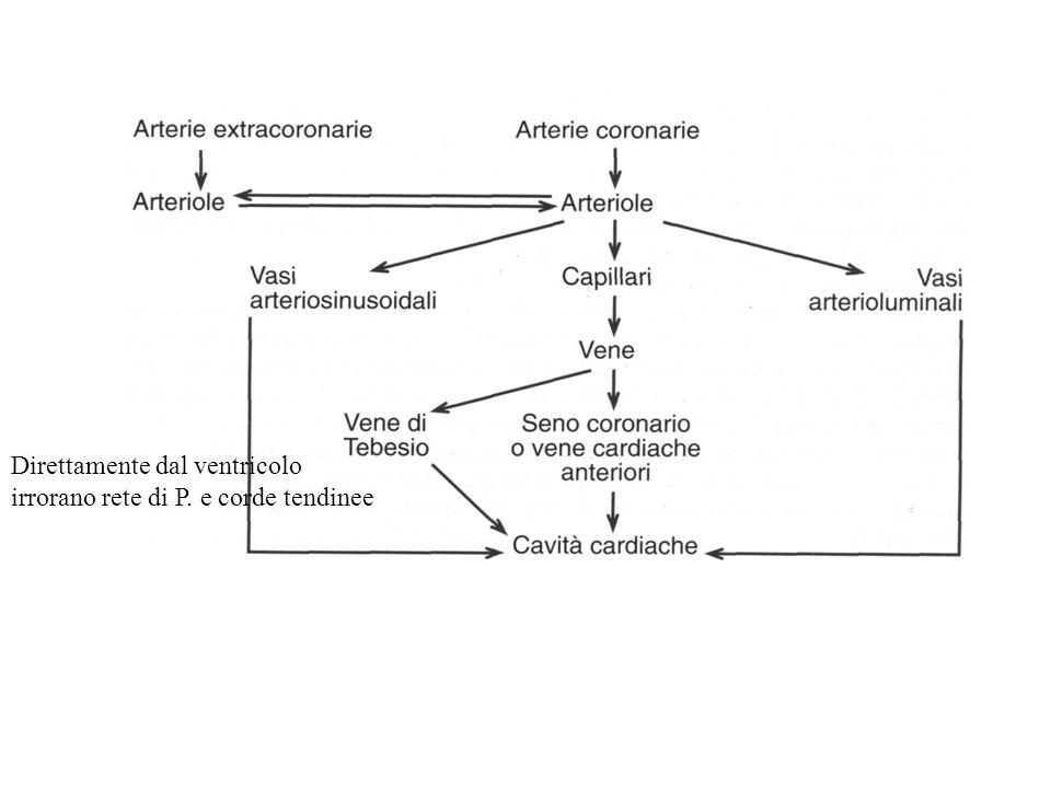 Direttamente dal ventricolo irrorano rete di P. e corde tendinee