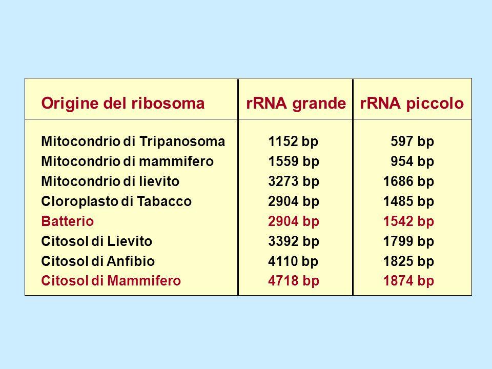 Origine del ribosoma Mitocondrio di Tripanosoma Mitocondrio di mammifero Mitocondrio di lievito Cloroplasto di Tabacco Batterio Citosol di Lievito Cit