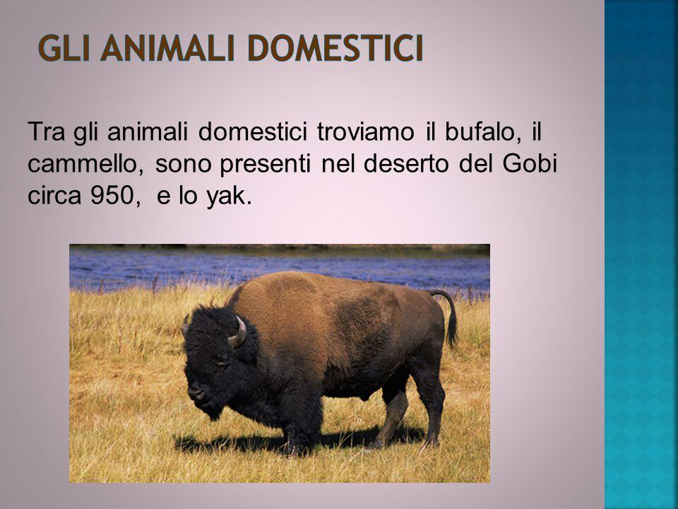 Tra gli animali domestici troviamo il bufalo, il cammello, sono presenti nel deserto del Gobi circa 950, e lo yak.