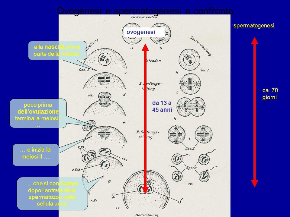 Ovogenesi e spermatogenesi a confronto alla nascita prima parte della meiosi I poco prima dell'ovulazione termina la meiosi I … … e inizia la meiosi II … … che si concluderà dopo l'entrata dello spermatozoo nella cellula uovo ca.