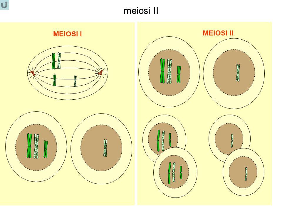 meiosi II MEIOSI I MEIOSI II