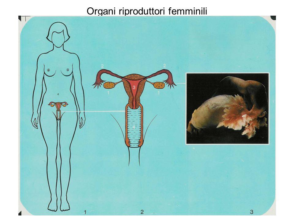 Organi riproduttori femminili