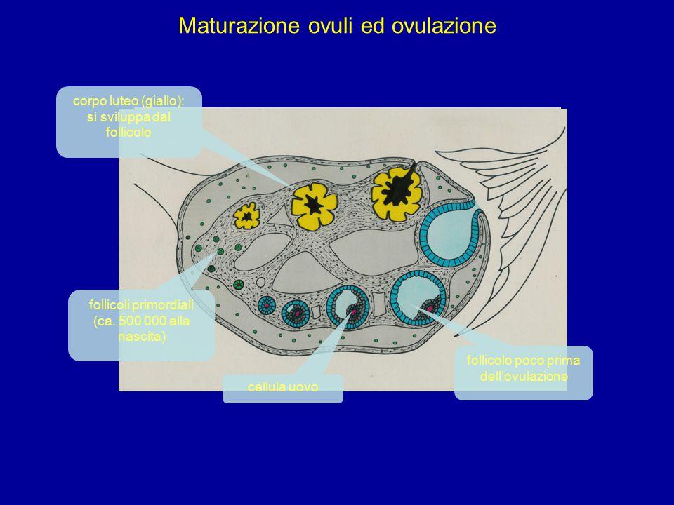 Maturazione ovuli ed ovulazione follicoli primordiali (ca.