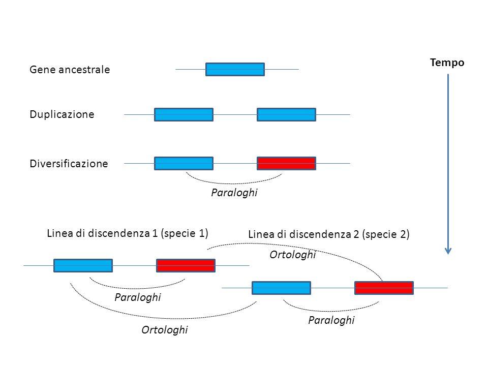 Gene ancestrale Duplicazione Diversificazione Linea di discendenza 1 (specie 1) Linea di discendenza 2 (specie 2) Paraloghi Ortologhi Tempo