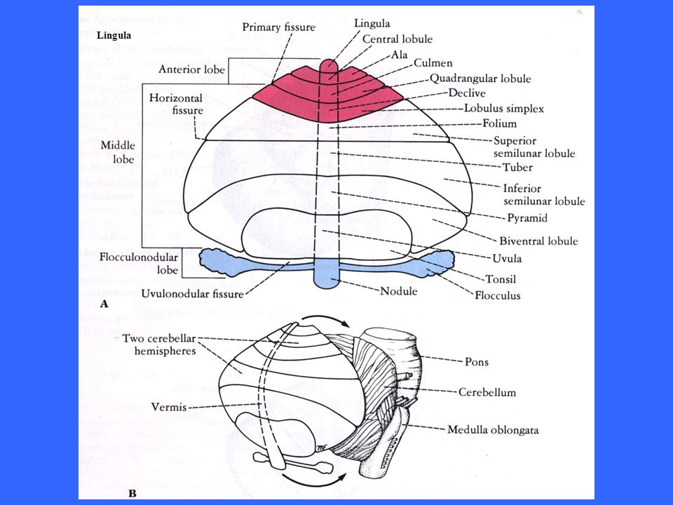 Fibre rampicanti Fibre muscoidi Strato dei granuli Strato dellecellule del Purkinje Strato molecolare cellula dei granuli Cellula del Golgi Cellula stellata Nuclei cerebellari Fibre cerebellari efferenti Cellule del Purkinje Cellula dei canestri