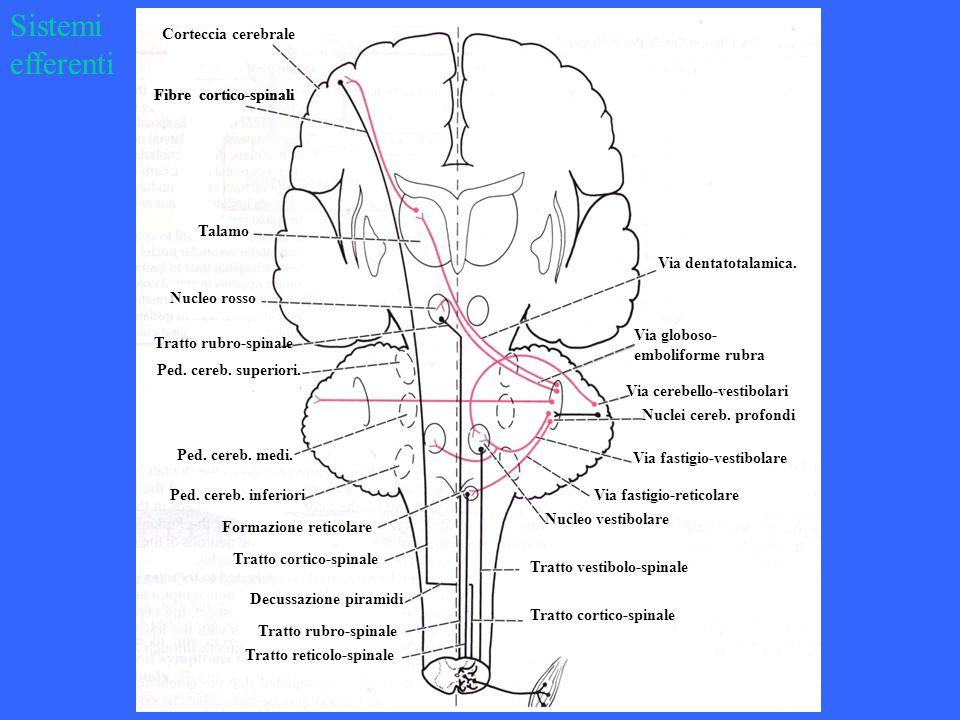 Via dentatotalamica. Via globoso- emboliforme rubra Nucleo vestibolare Via fastigio-reticolare Via fastigio-vestibolare Nuclei cereb. profondi Via cer